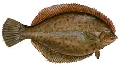 013-Winter_Flounder copy