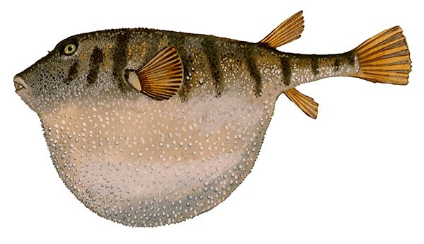 Northern_Puffer