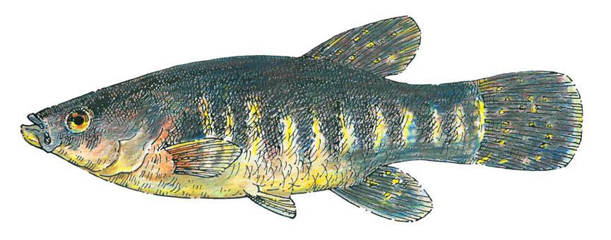 Native American Food Fish
