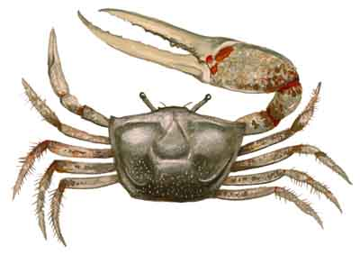 056-Red-Jointed_Fiddler_Crab