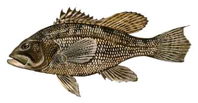 116-Black_Sea_Bass