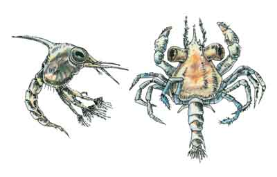 Blue Crab Growth