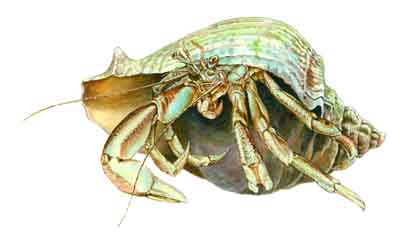 Long_Wristed_Hermit_Crab