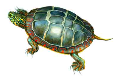 Painted_Turtle