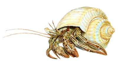 Striped Hermit Crab