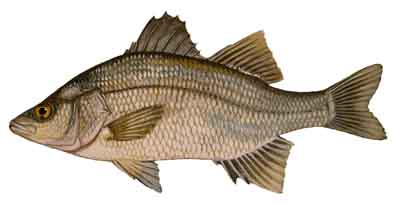White_Perch-DR-003