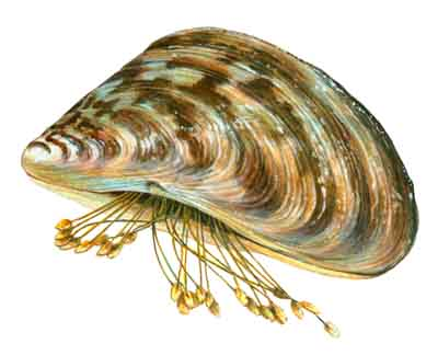 Zebra Scientific Name Don't Move a Mussel | ...