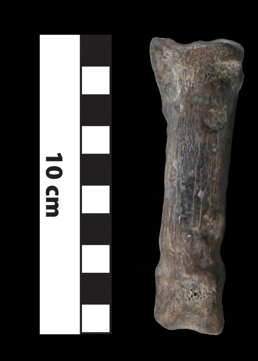 Procamlus foot bone