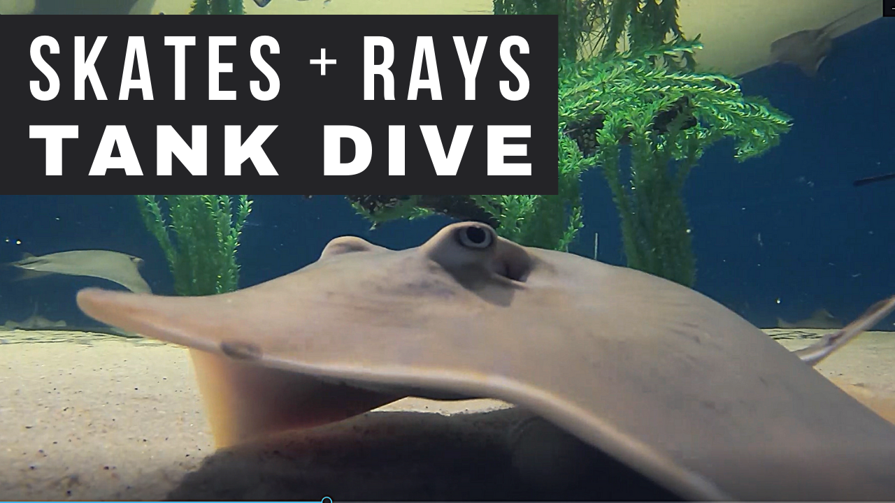 Skates and Rays Tank Dive Opens in new window