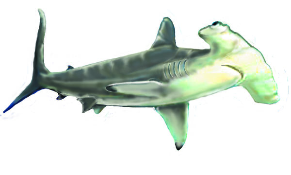 hammerhead two
