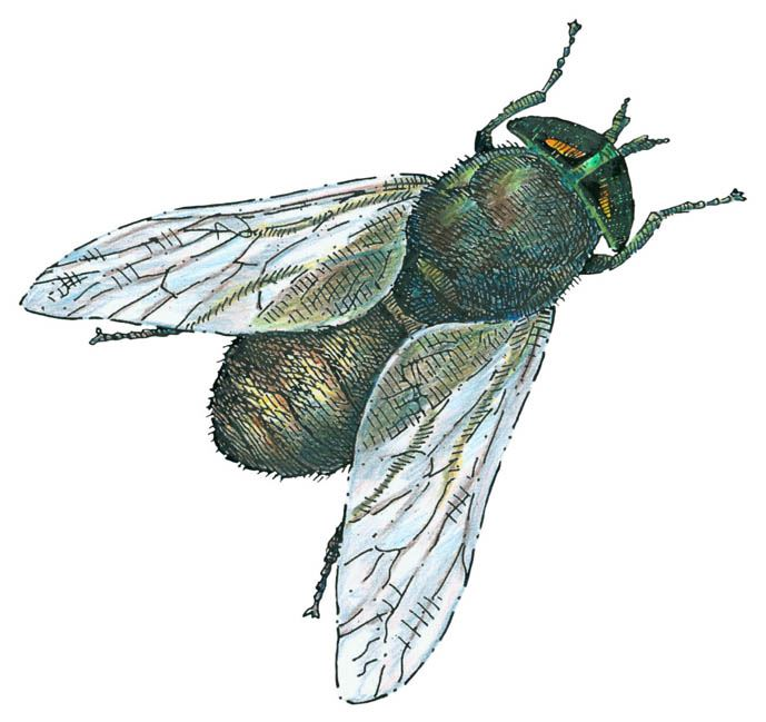 Greenhead Fly