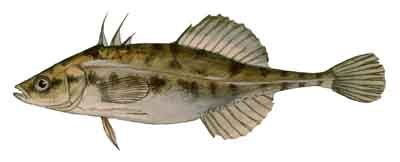 036-Fourspine_Stickleback