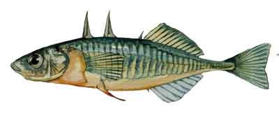 037-Threespine_Stickleback