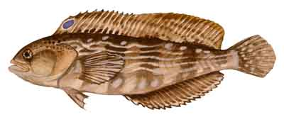 047-Striped_Blenny