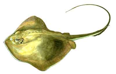 Image result for atlantic stingray white background