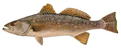Spotted_Seatrout-DR-009