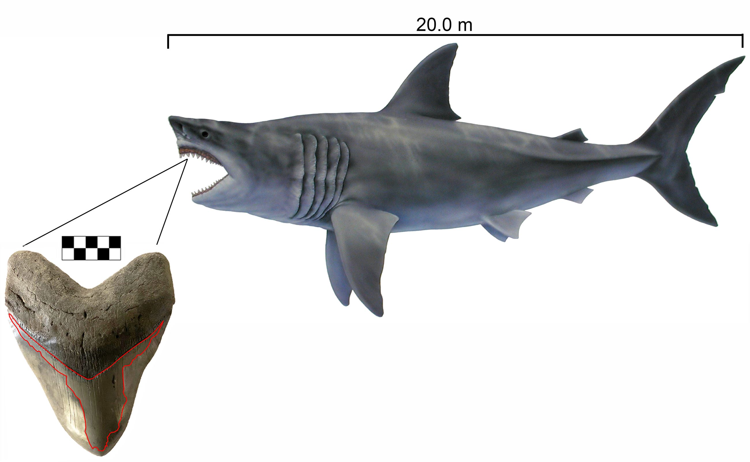 most complete associated dentition of Megalodon