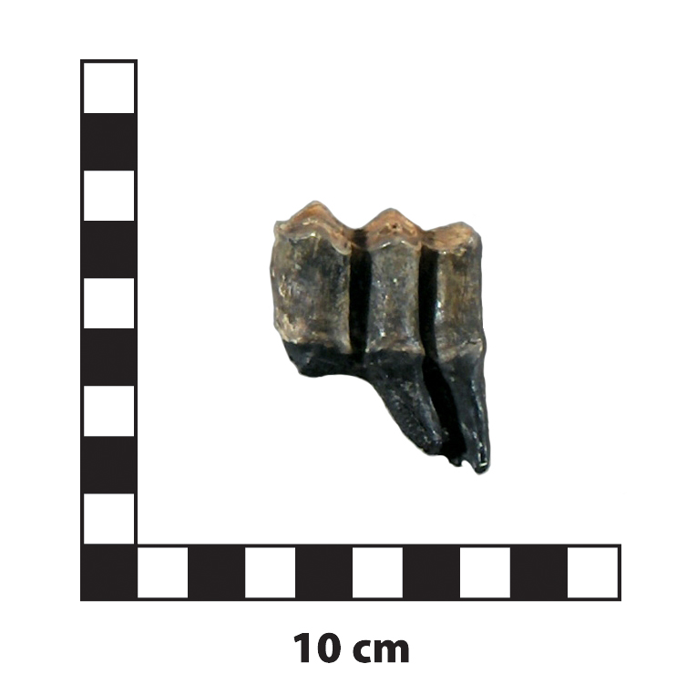 Procamlus tooth L scale