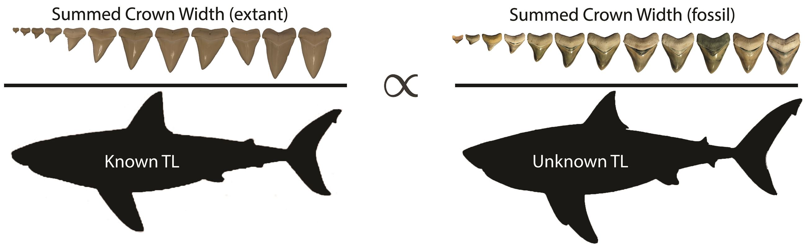 Maximum body length of Otodus megalodon, based on the largest known tooth. Note