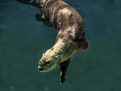 River Otters   Calvert...